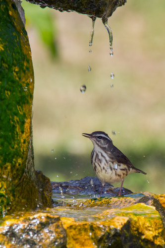 louisiana-waterthrush_4328-46.jpg