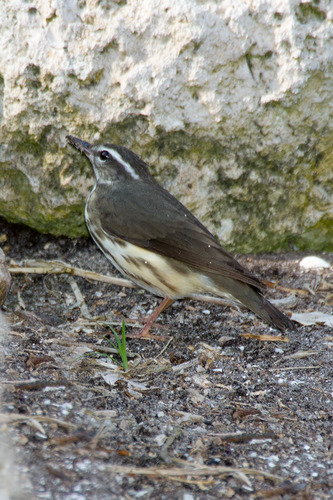 louisiana-waterthrush_4403-46.jpg