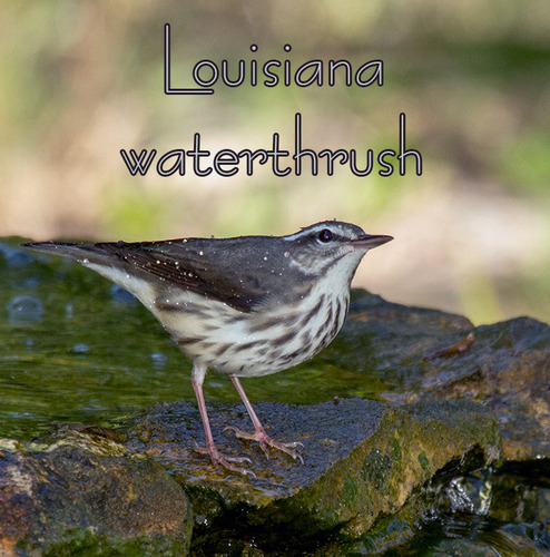 louisiana-waterthrush_4409t.jpg