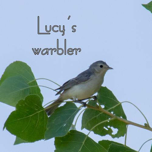 lucys-warbler_5627t.jpg