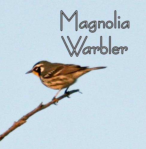 magnolia-warbler_0144t.jpg