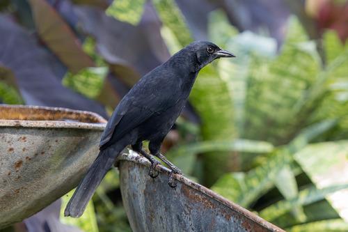 melodious-blackbird_6771-64.jpg