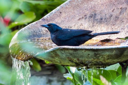 melodious-blackbird_80127-64.jpg