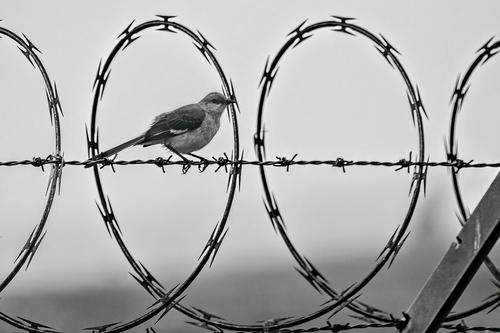 northern-mockingbird-wire_1664-64(1).jpg