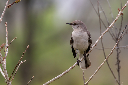 northern-mockingbird_1678a-46.jpg
