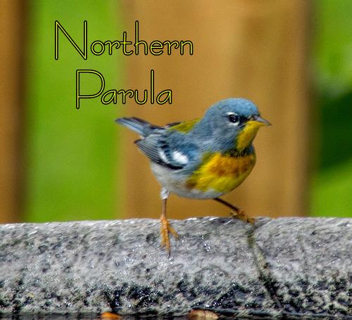 northern-parula_2203t.jpg