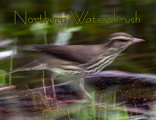 northern-waterthrush_9769t.jpg