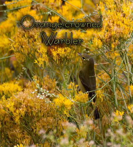 orange-crowned warbler_1134t.jpg