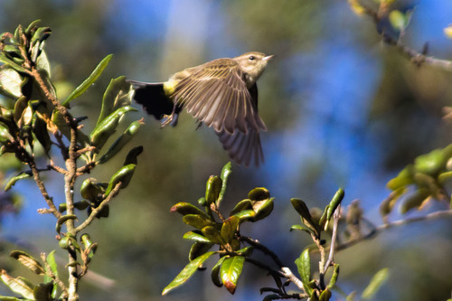 palm-warbler-flight_2542-64.jpg