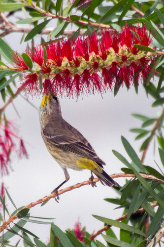 palm-warbler-warbler_3519-46.jpg