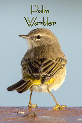 palm-warbler_3488t.jpg