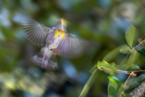 parula-wings-7840-64.jpg