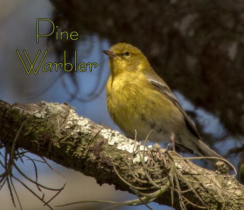 pine-warbler_0725t.jpg