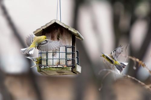 pine-warbler_8257-64.jpg