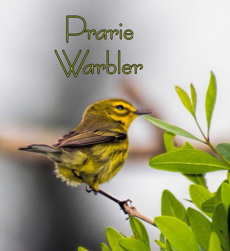 prarie-warbler_7113t.jpg