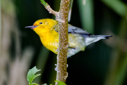 prothonotary-warbler_7144-64.jpg