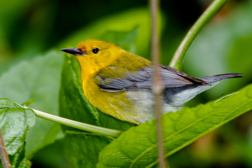 prothonotary-warbler_7145-64.jpg