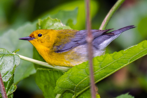 prothonotary-warbler_7147-64.jpg