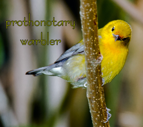 prothonotary-warbler_7152t.jpg