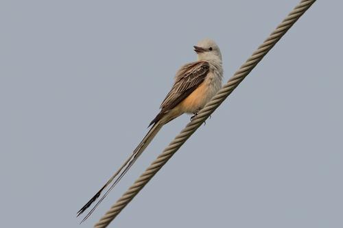 scissor-tailed-flycatcher_1514-64(1).jpg