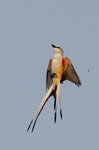 scissor-tailed-flycatcher_1519-46(1).jpg