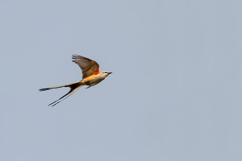 scissor-tailed-flycatcher_1528a-64.jpg