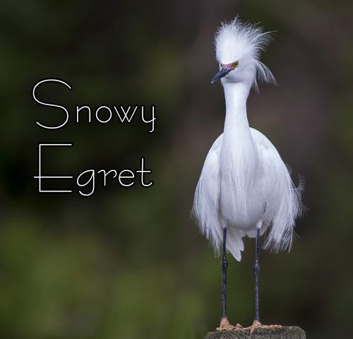 snowy-egret-hairdo_1485txt-44.jpg