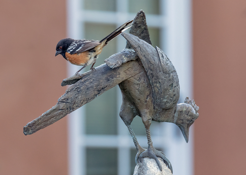 spotted-towhee_0046a-75(1).jpg