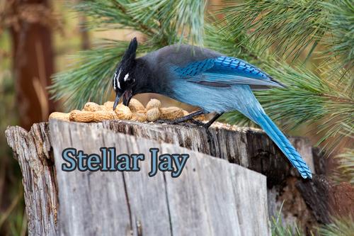 stellar-jay_1684-64(2).jpg