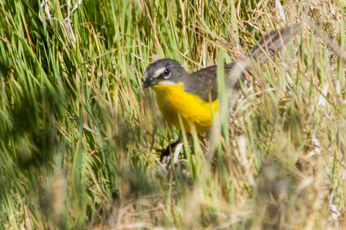 yellow-breasted-chat_5657-64.jpg