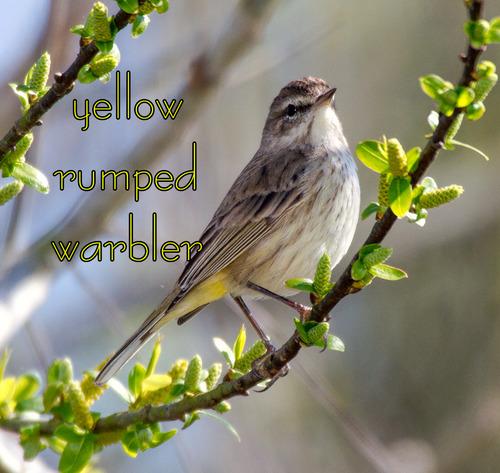yellow-rumped-warbler_0857t.jpg