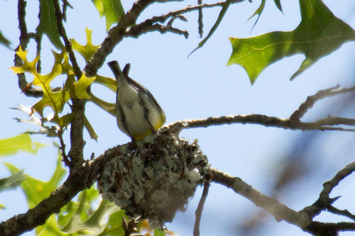 yellow-throated-vireo_3213.jpg