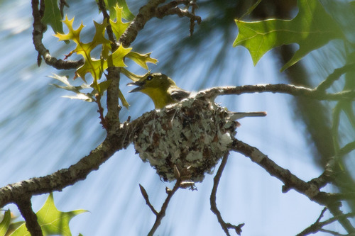 yellow-throated-vireo_3215.jpg