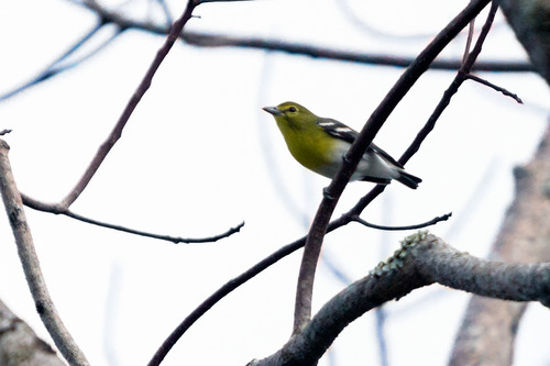 yellow-throated-vireo_6857-64.jpg