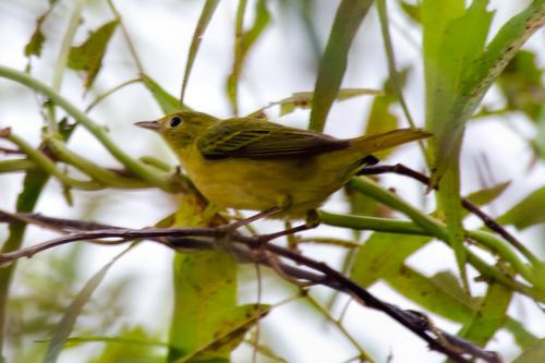 yellow-warbler_0652-64.jpg