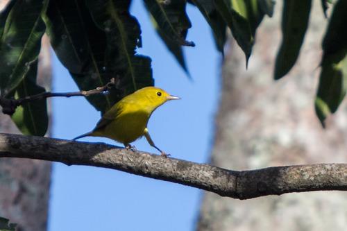 yellow-warbler_6836-64.jpg