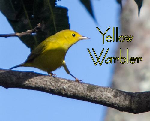 yellow-warbler_6836t.jpg