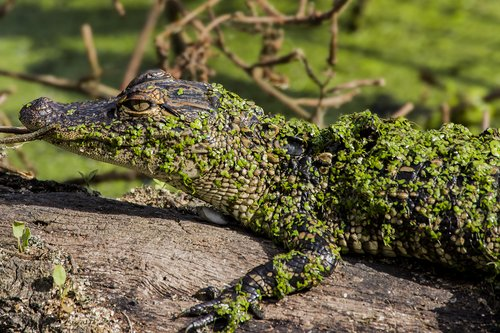alligator-juvenile_4758-64.jpg