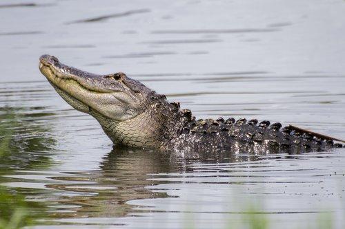 alligator_4112-64.jpg