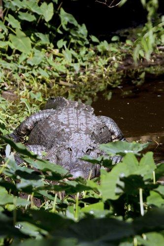 alligator_leaves_0045-4x6.jpg