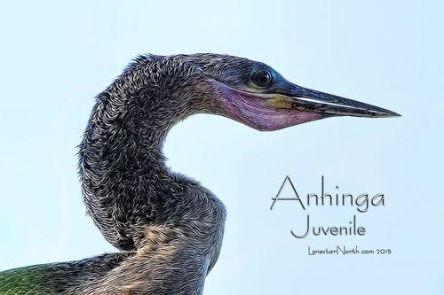 anhinga-juvenile_1540tpz-64txt.jpg