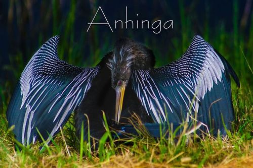 anhinga_TXT_99541.jpg
