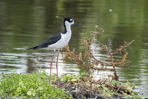 black-necked-stilt_0447-641.jpg