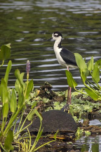 black-necked-stilt_1374-461.jpg