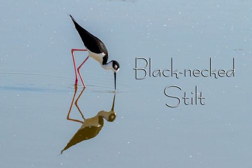 black-necked-stilt_4129txt-64.jpg