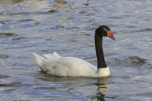 black-necked-swan_2880-64.jpg