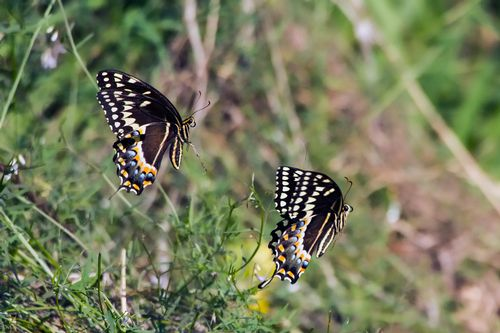 butterfly-chase_2466-64.jpg