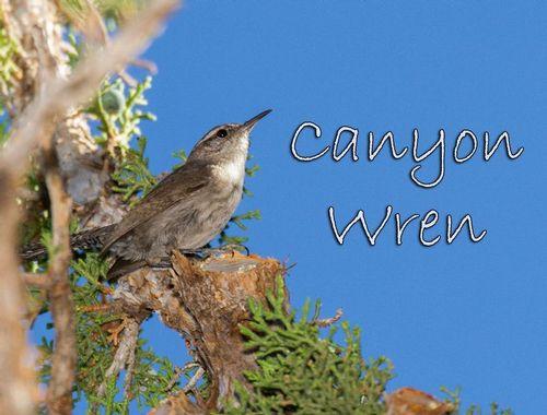 canyon-wren_5298txt-64.jpg