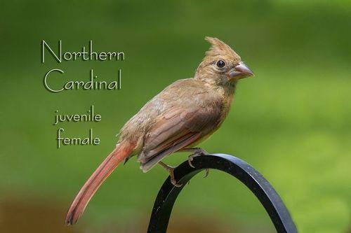 cardinal-juvenile_6824-64txt.jpg