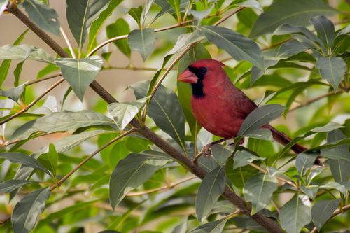 cardinal_0288-64.jpg